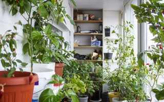 Перец на балконе выращивание пошагово